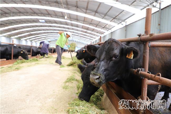 杨永波在博新公司养牛场稳定就业.jpg