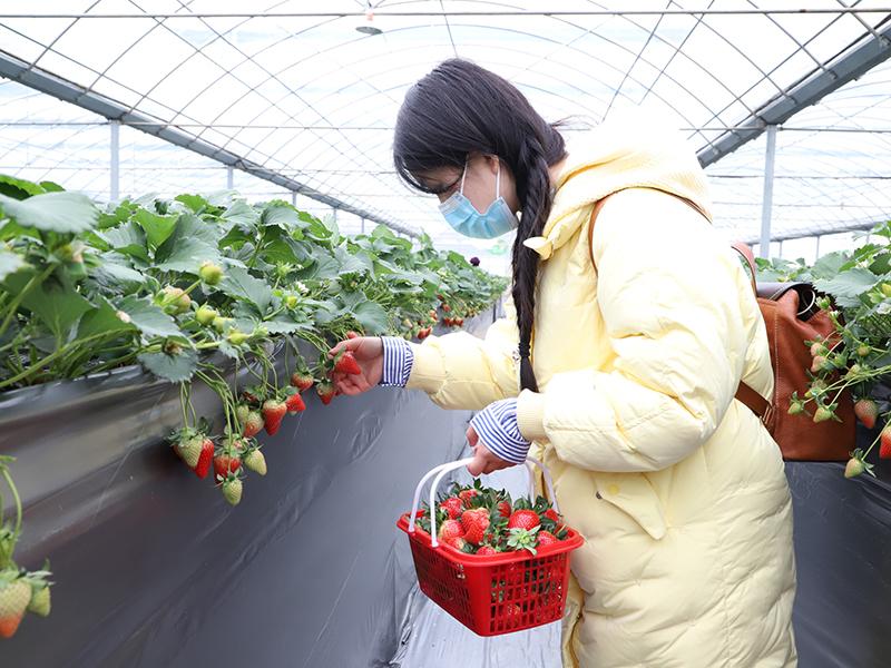 游客采摘草莓.jpg