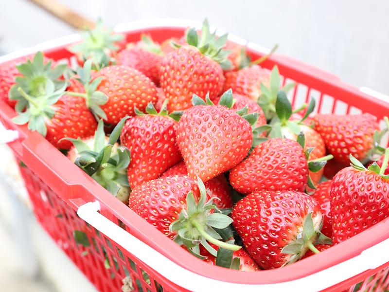 双堡镇欣悦草莓示范园区的草莓.jpg