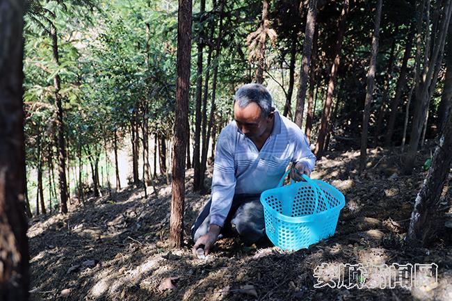胡维胜在基地务工时,帮助客人采摘松茸1.jpg
